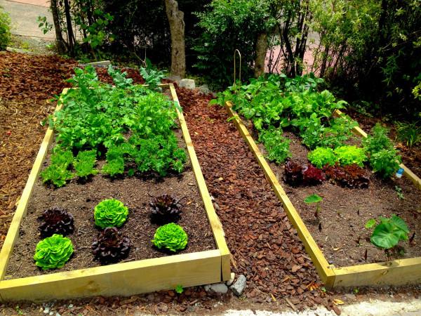 自宅庭の菜園